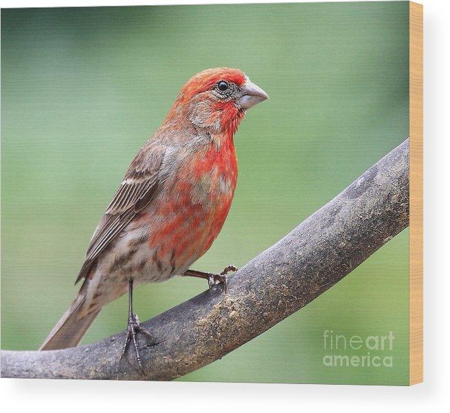 Wingsdomain Wood Print featuring the photograph House Finch by Wingsdomain Art and Photography