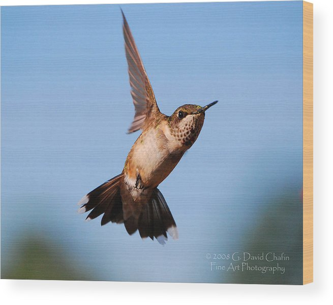 Animal Wood Print featuring the photograph Hummingbird In Flight by Dave Chafin