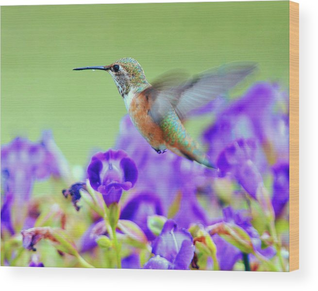 Hummingbird Wood Print featuring the photograph Hummingbird Visiting Violets by Laura Mountainspring
