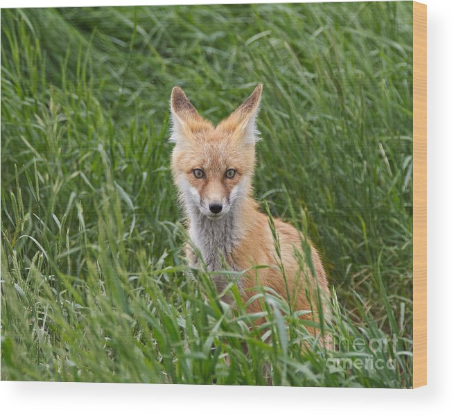 Red Fox Wood Print featuring the photograph I See You by Royce Howland
