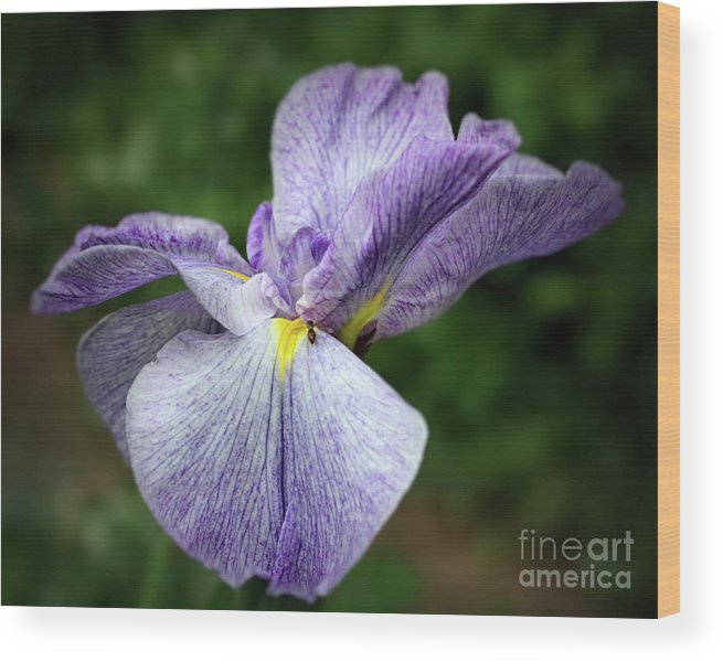 Flower Wood Print featuring the photograph Japanese Iris Unfolding by Smilin Eyes Treasures