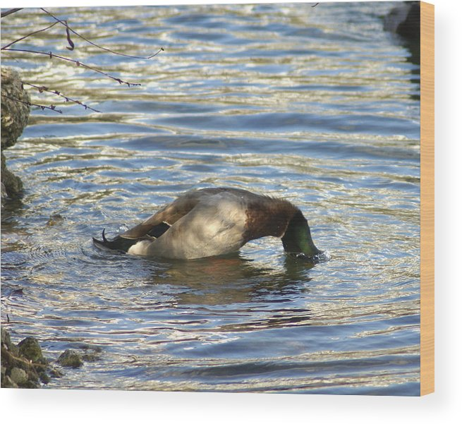 Duck Wood Print featuring the photograph Just One More Peek by Debbie May