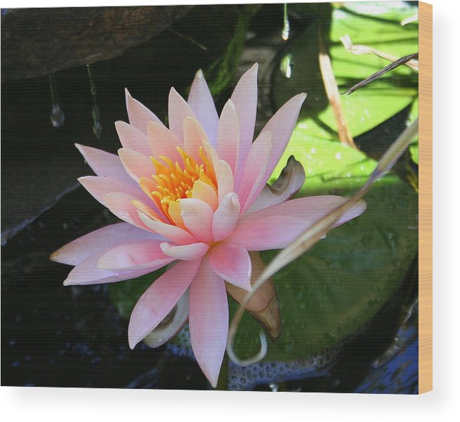 Lily Oad Wood Print featuring the photograph Lily Bloomed by Kerry Reed