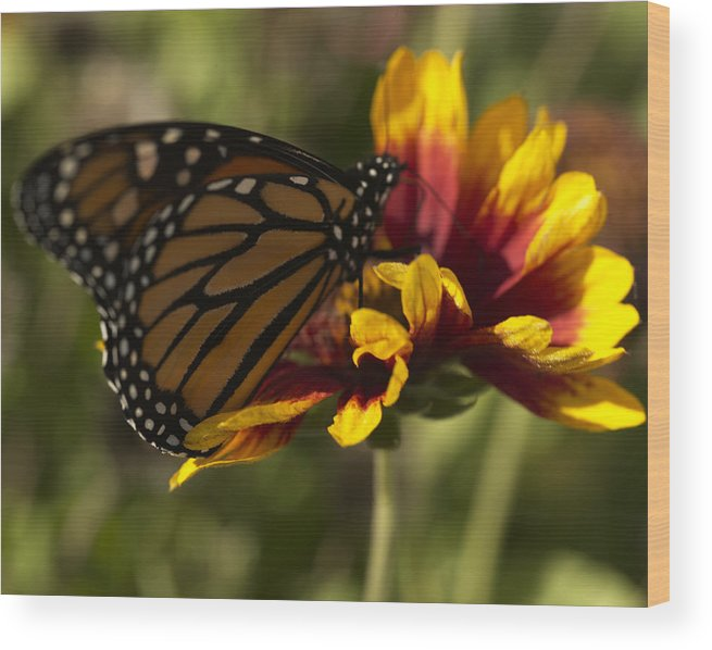 Butterfly Wood Print featuring the photograph Monarch Butterfly by Jessica Wakefield