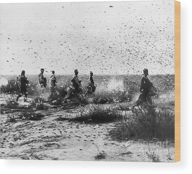 1954 Wood Print featuring the photograph Morocco: Locusts, 1954 by Granger
