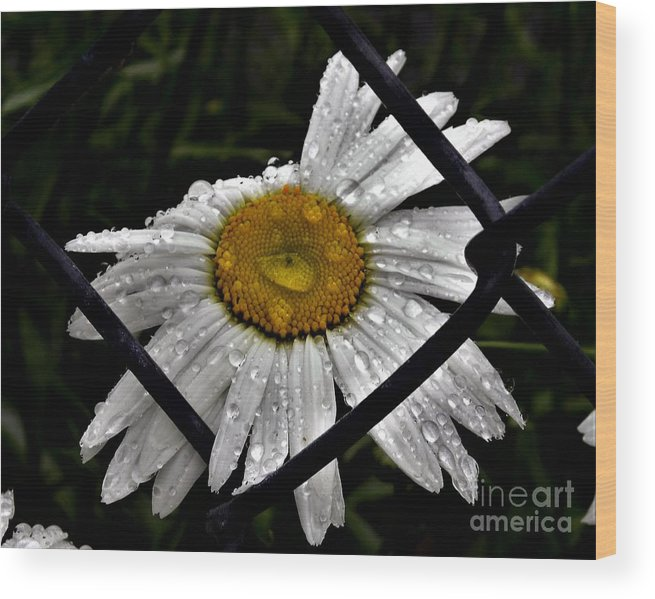 Daisy Wood Print featuring the photograph Office Art by Julie Hodgkins