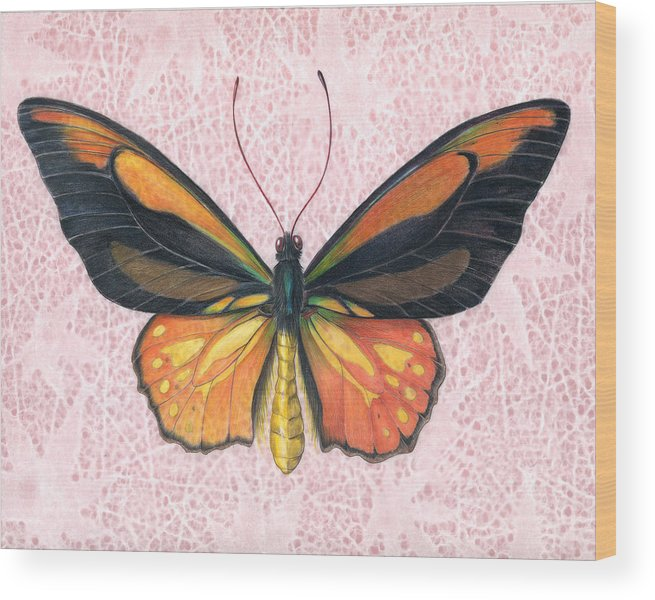Moths Wood Print featuring the painting Oranged Birdwing by Mindy Lighthipe