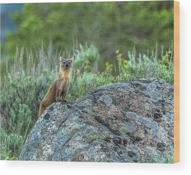 Pine Marten Wood Print featuring the photograph Pine Marten With Attitude by Yeates Photography
