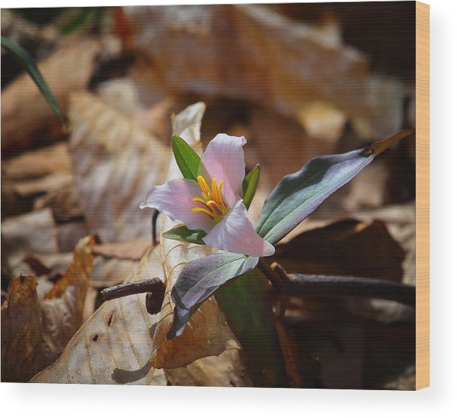 Trillium Wood Print featuring the photograph Pink Trillium In Lost Valley by Michael Dougherty