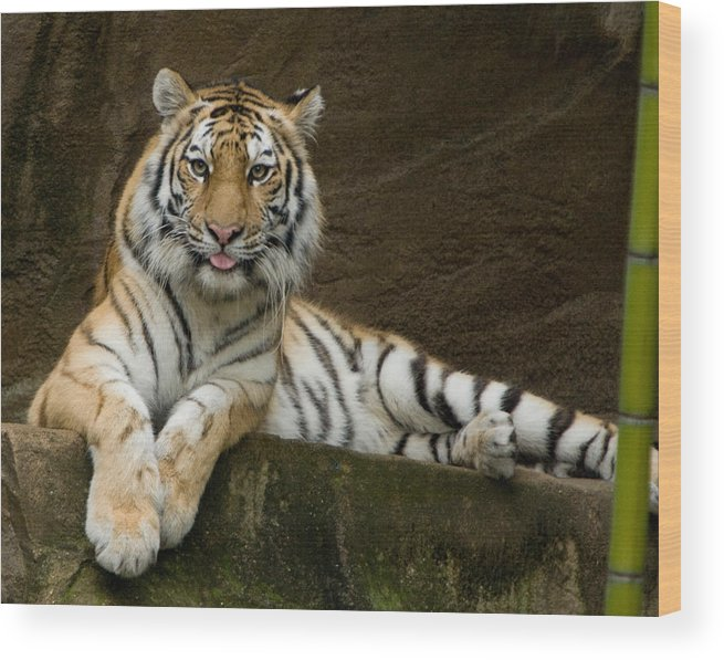 Captive-tiger Wood Print featuring the photograph Resting by Walt Reece