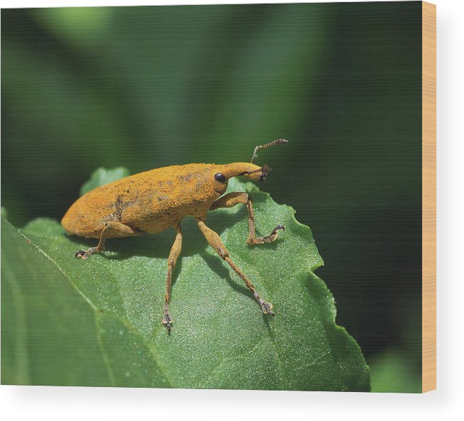 Rhubarb Weevil Wood Print featuring the photograph Rhubarb Weevil by David Lamb