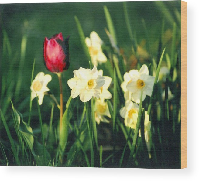 Tulips Wood Print featuring the photograph Royal Spring by Steve Karol