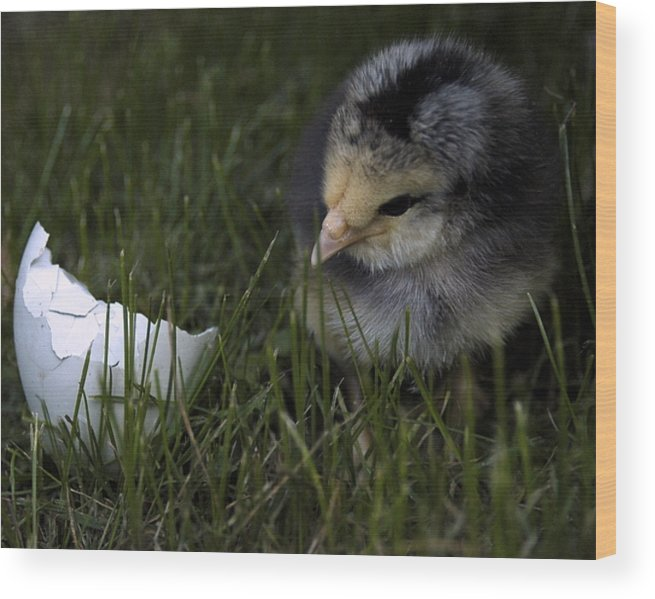 Chick Wood Print featuring the photograph Spring Chick by Kris Paukstys