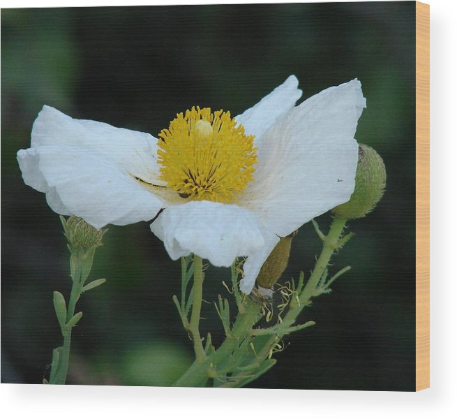 Poppy Wood Print featuring the photograph Spring Poppy by Liz Vernand