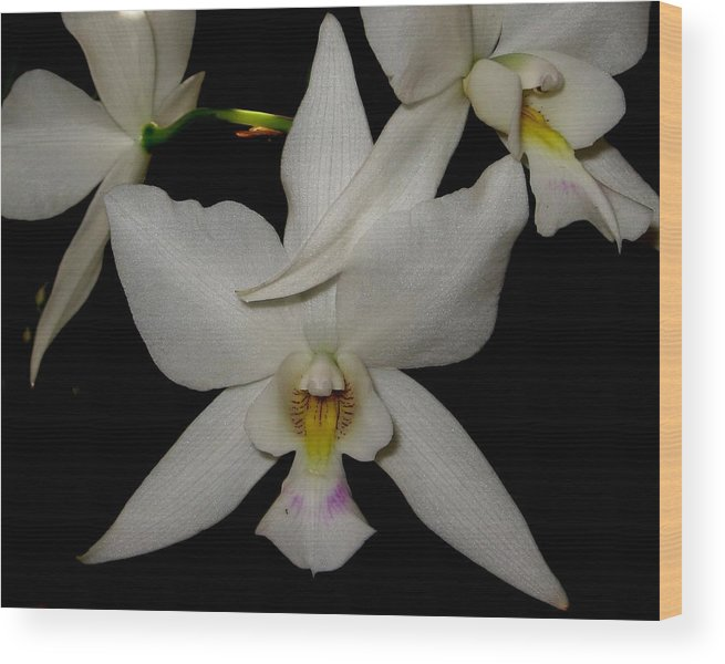 Orchid Wood Print featuring the photograph Starlight by Betnoy Smith