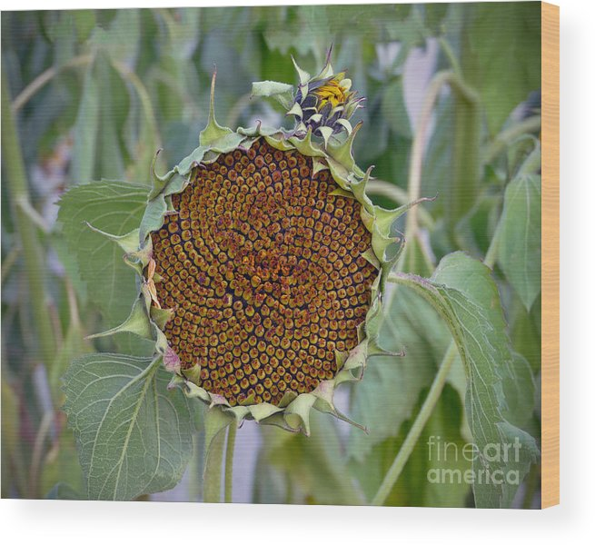 Helianthus Annuus Wood Print featuring the photograph Sunflower Seedhead by Catherine Sherman