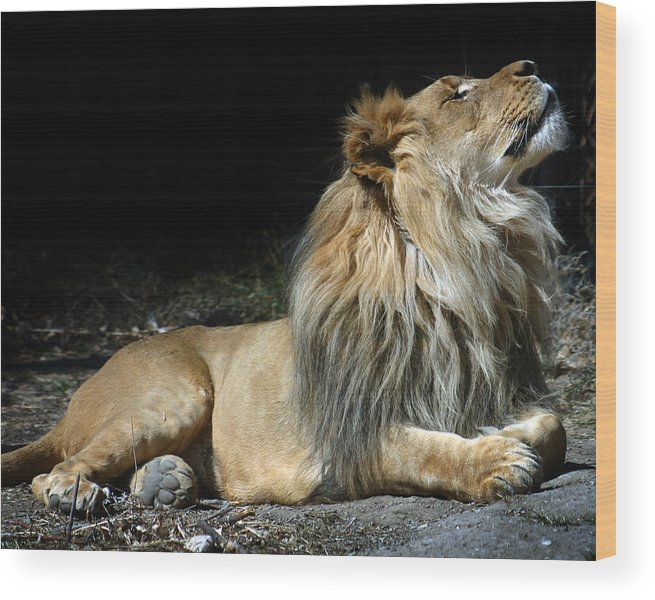 Lion Wood Print featuring the photograph This Is My Best Side by Anthony Jones