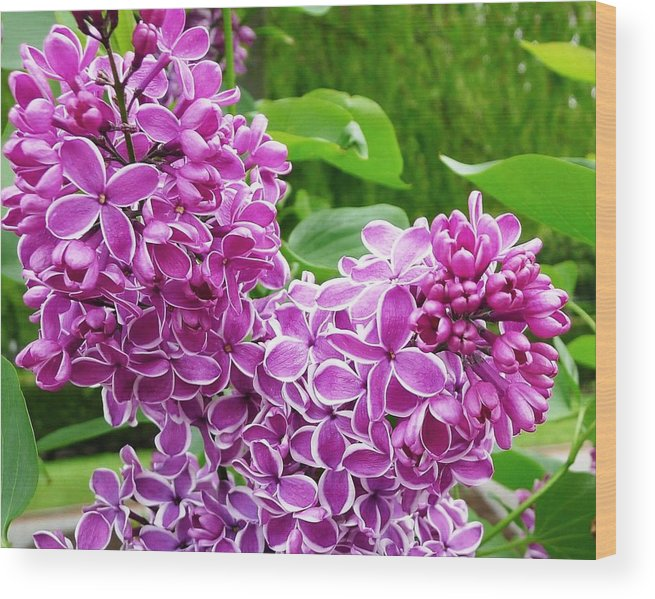 Regina Donetskaya Wood Print featuring the photograph This Lilac Has Flowers With A White Edging.1 by Regina Donetskaya