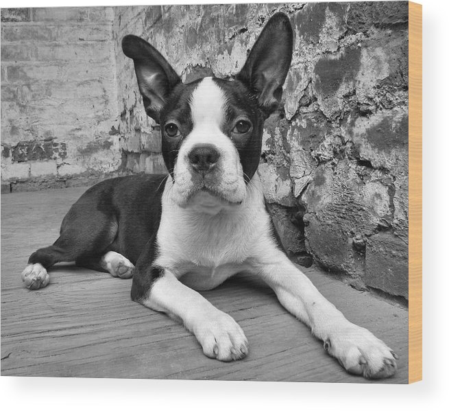 Boston Terrier Wood Print featuring the photograph Urban Hound by Crystal Rolfe