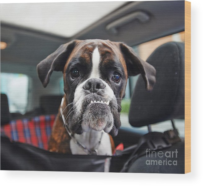 Small Wood Print featuring the photograph Boxer Dog by Onixxino