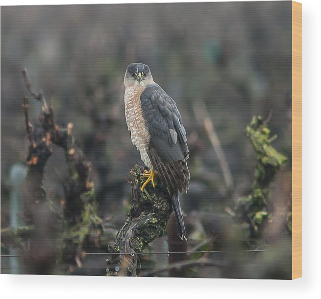 Hawk Wood Print featuring the photograph Coopers Hawk by Brian Williamson
