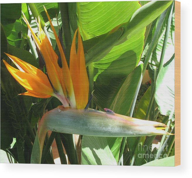 Bird Of Paradise Wood Print featuring the photograph Bird Of Paradise by Christiane Schulze Art And Photography