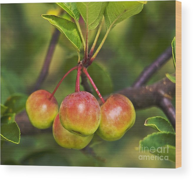 Crabapples Wood Print featuring the photograph Crabapple Bunch by Candy Frangella