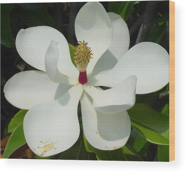 Magnolia Grandiflora Wood Print featuring the photograph Magnolia II by Suzanne Gaff