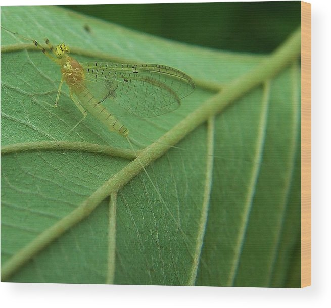 Fly Wood Print featuring the photograph Mayfly by Rory Cubel