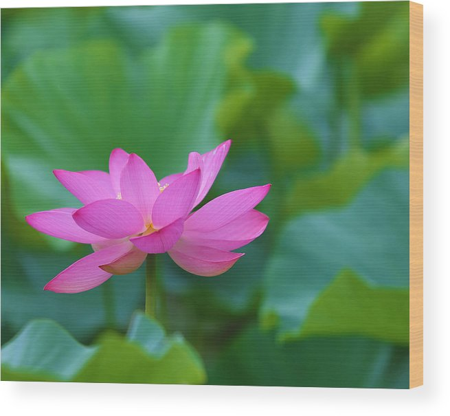 Pink Wood Print featuring the photograph Pink Lotus Blossom by Jack Nevitt
