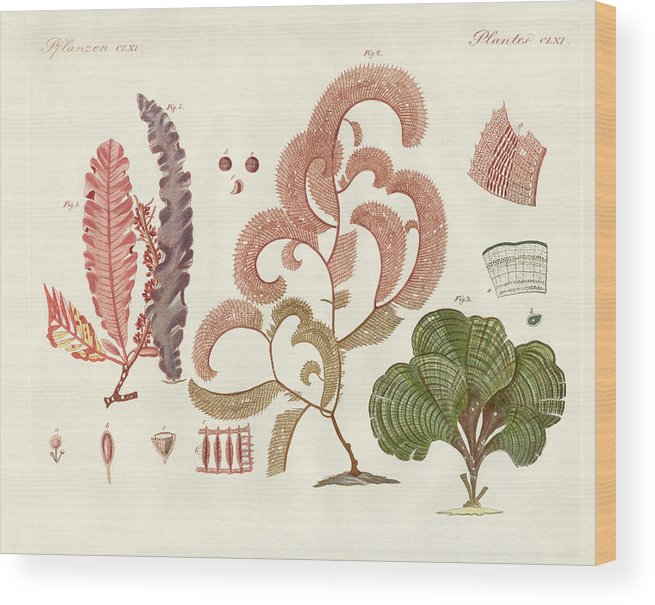 Bertuch Wood Print featuring the drawing Seaweed Different Kinds by Splendid Art Prints