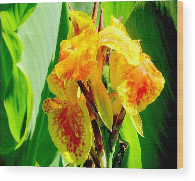 Canna Lily Wood Print featuring the photograph Yellow And Orange Canna Lily by Elaine Weiss