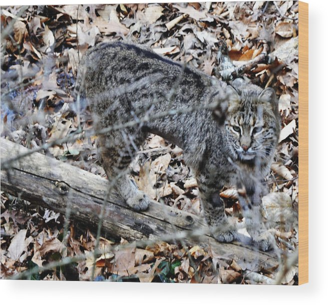 Animal Wood Print featuring the photograph A Bob Cat by Eva Thomas