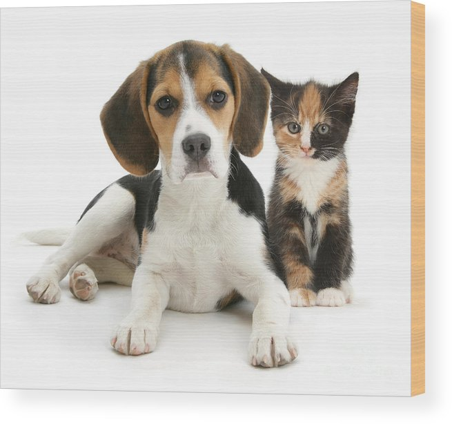 Animal Wood Print featuring the photograph Beagle And Calico Cat by Mark Taylor