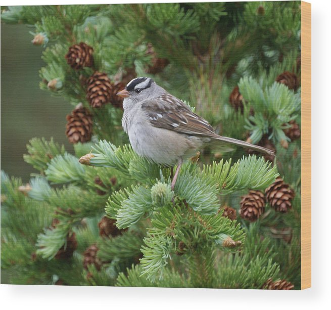 Chickadee Wood Print featuring the photograph Chickadee by Heather Coen