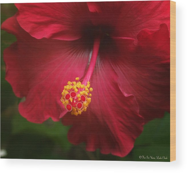 Hibiscus Flower Flowers Plants Blooms Garden Floral Wood Print featuring the photograph Hibiscus by Linda Ebarb