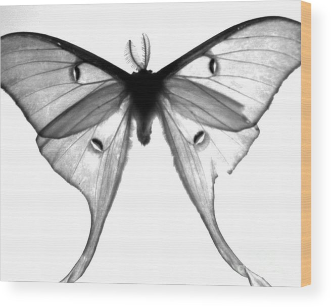 Moth Wood Print featuring the photograph Moth by Amanda Barcon