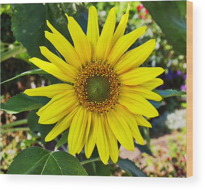 Sunflower Wood Print featuring the digital art Sunflower by Sterling Haidt