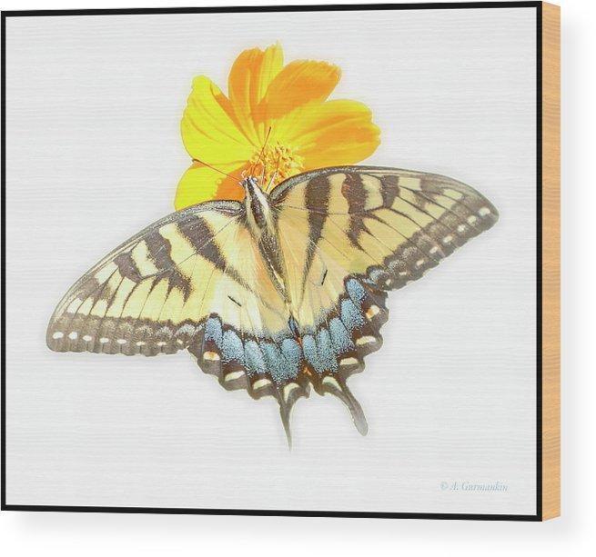 Tiger Swallowtail Butterfly Wood Print featuring the digital art Tiger Swallowtail Butterfly, Cosmos Flower by A Gurmankin