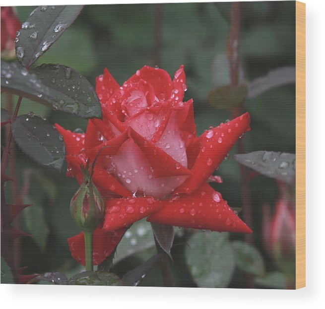 Flower Rose In The Rain Wood Print featuring the photograph Rose In The Rain by Edward Kocienski