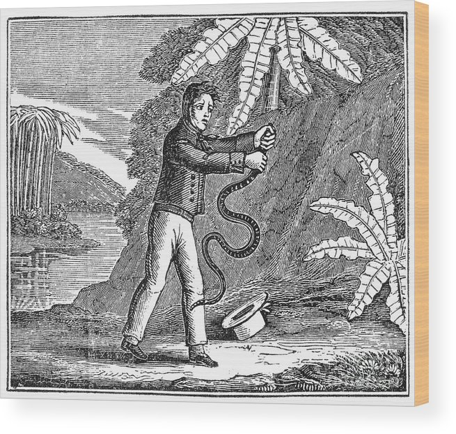 19th Century Wood Print featuring the photograph Rattlesnake by Granger