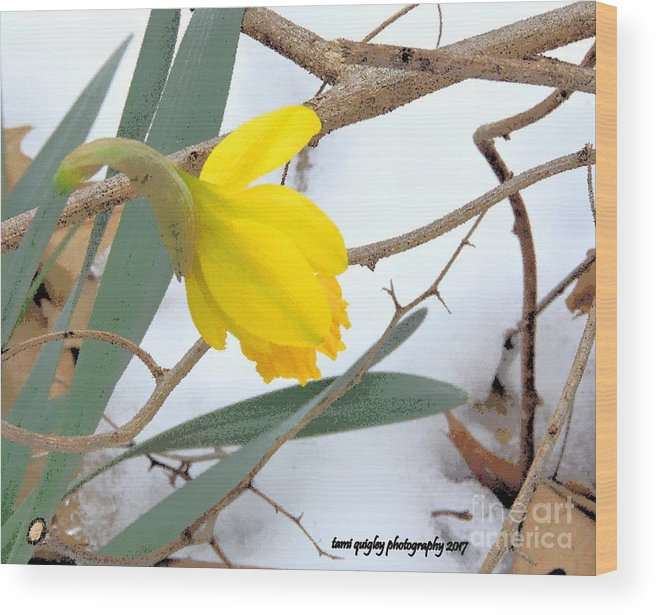 Daffodil Wood Print featuring the photograph All Too Soon by Tami Quigley