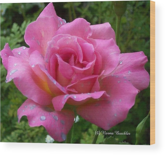 Pink Flowers Wood Print featuring the photograph Pink Rose After Rain by Norma Boeckler