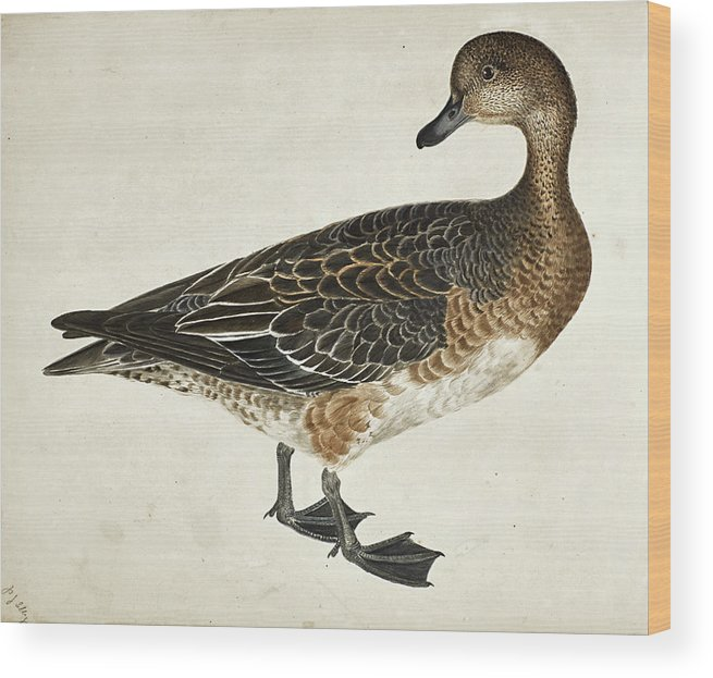 Prideaux John Selby Wood Print featuring the drawing Widgeon, Female by Prideaux John Selby