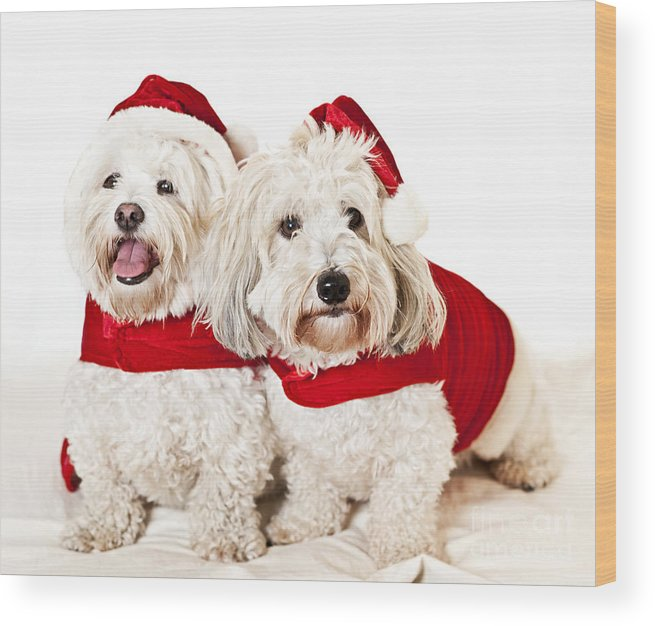 Dogs Wood Print featuring the photograph Two Cute Dogs In Santa Outfits by Elena Elisseeva
