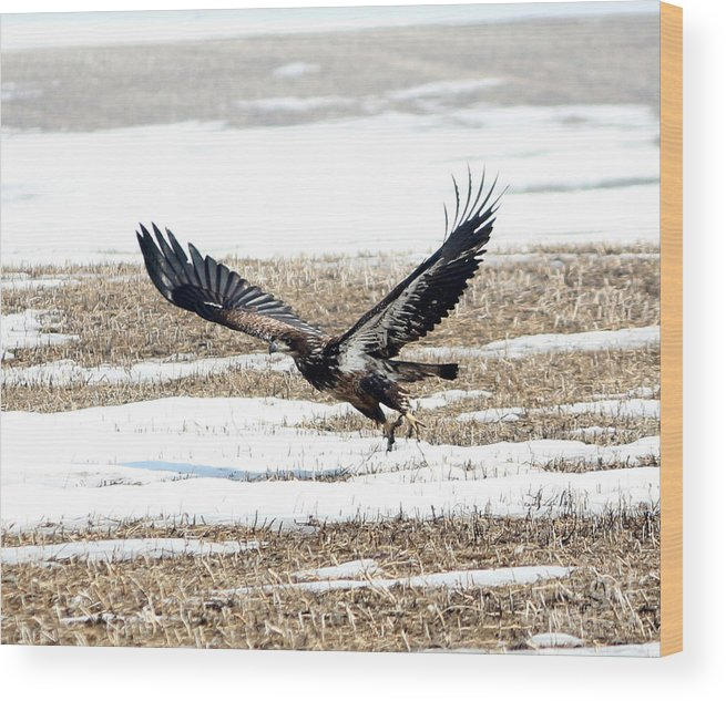 Bald Eagle Wood Print featuring the photograph Lift Off by Lori Tordsen