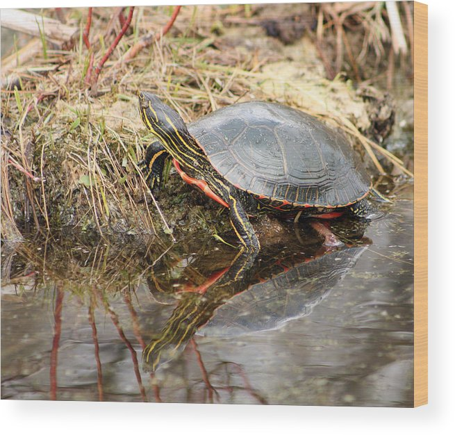Western Painted Turtle Wood Print featuring the photograph Painted Turtle Climbing Onto Shore by Robert Hamm