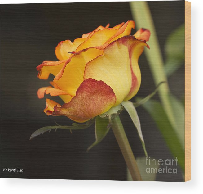 Rose Wood Print featuring the pyrography Rose by Kanti Kan
