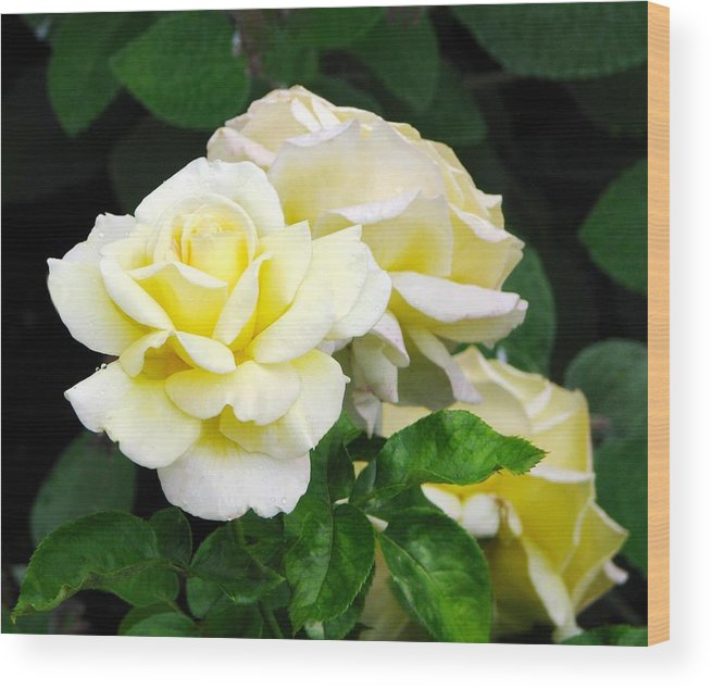 Tea Roses Wood Print featuring the photograph Yellow Tea Roses by Elaine Weiss