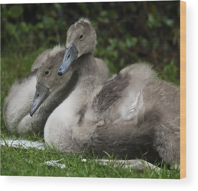 Critters And Creatures Wood Print featuring the photograph Young Swans by Barry Shepherd
